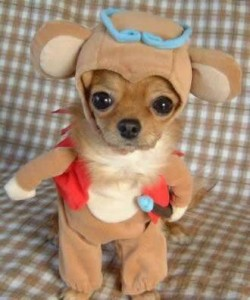 cachorro chiguagua gracioso