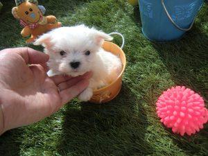 Bichón maltés mini - Criadero Cantillana