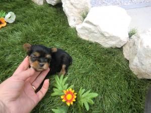 Cachorros yorkshire - Criadero Cantillana