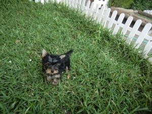 Perros yorkshire terrier - Criadero Cantillana