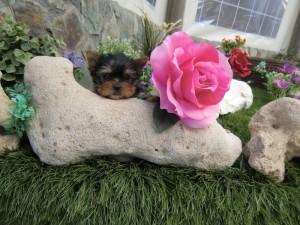 Venta cachorro yorkshire - Criadero Cantillana