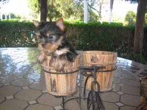 Yorkshire terrier mini toy - Criadero Cantillana