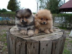 Pomeranias - Criadero de Cantillana