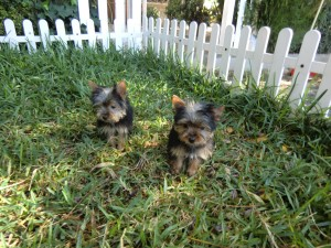 Yorkshire Cachorros - Criadero Cantillana