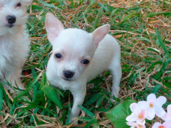 Chihuahua en Criadero Cantillana