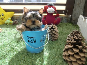 Comprar Cachorro Yorkshire - Criadero Cantillana