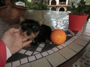 Yorkshire Terrier Toy Precio - Criadero Cantillana