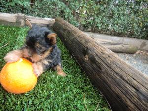 Yorkshire Terrier en Venta - Criadero Cantillana
