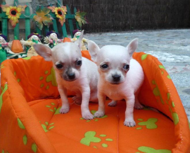Chihuahua Criadero Cantillana