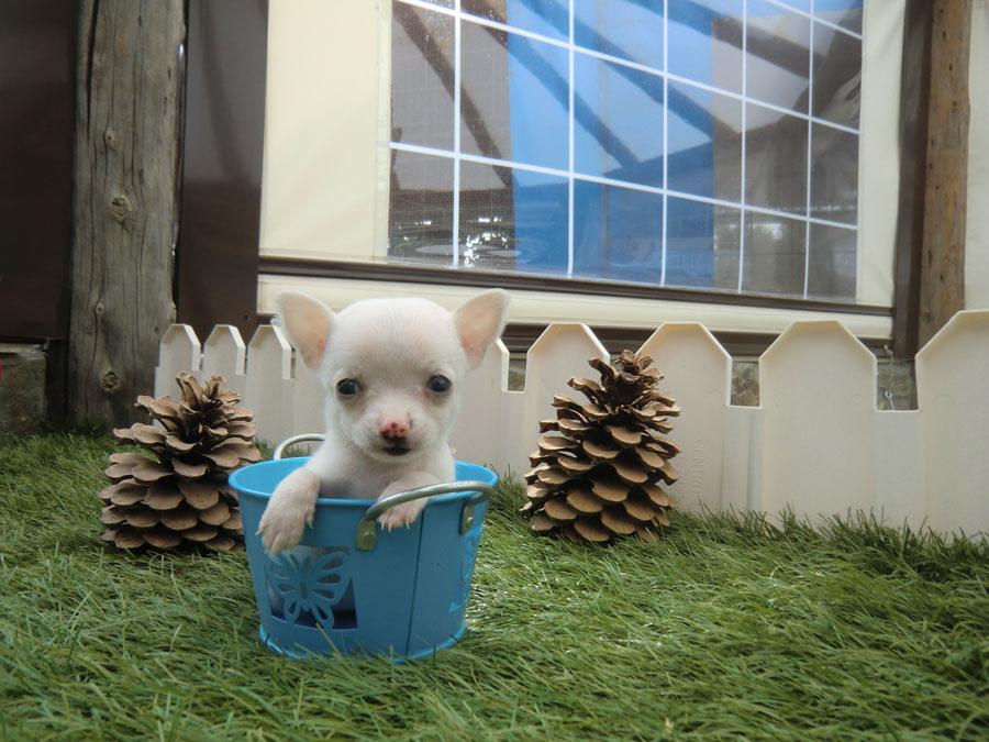 la raza de perro mas pequena: