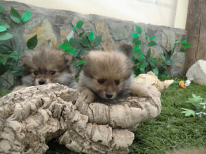 Pomeranian Precio - Criadero de Cantillana