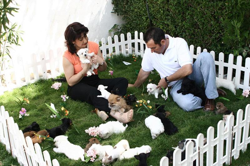 Yorkshire, Bichón Maltés, Chihuahua y Pomerania en Criadero Cantillana. Ver cachorros aquí: www.criaderocantillana.com/tablon.