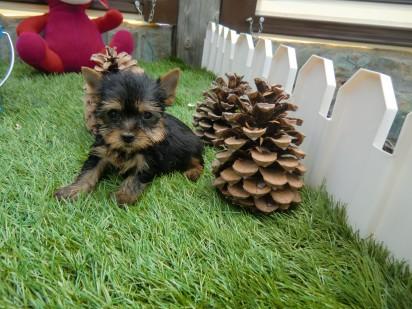 Precio Yorkshire Terrier