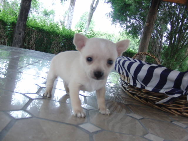 Chihuahua toy venta - Criadero Cantillana