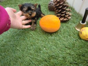 Yorkshire Terrier Miniatura - Venta