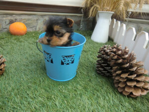 Yorkshire Terrier Enano - Venta