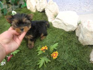 Venta Yorkshire Terrier - Venta