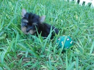 Yorkshire Terrier Cachorros - Venta