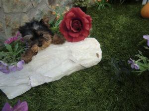 Yorkshire Terrier - Comprar